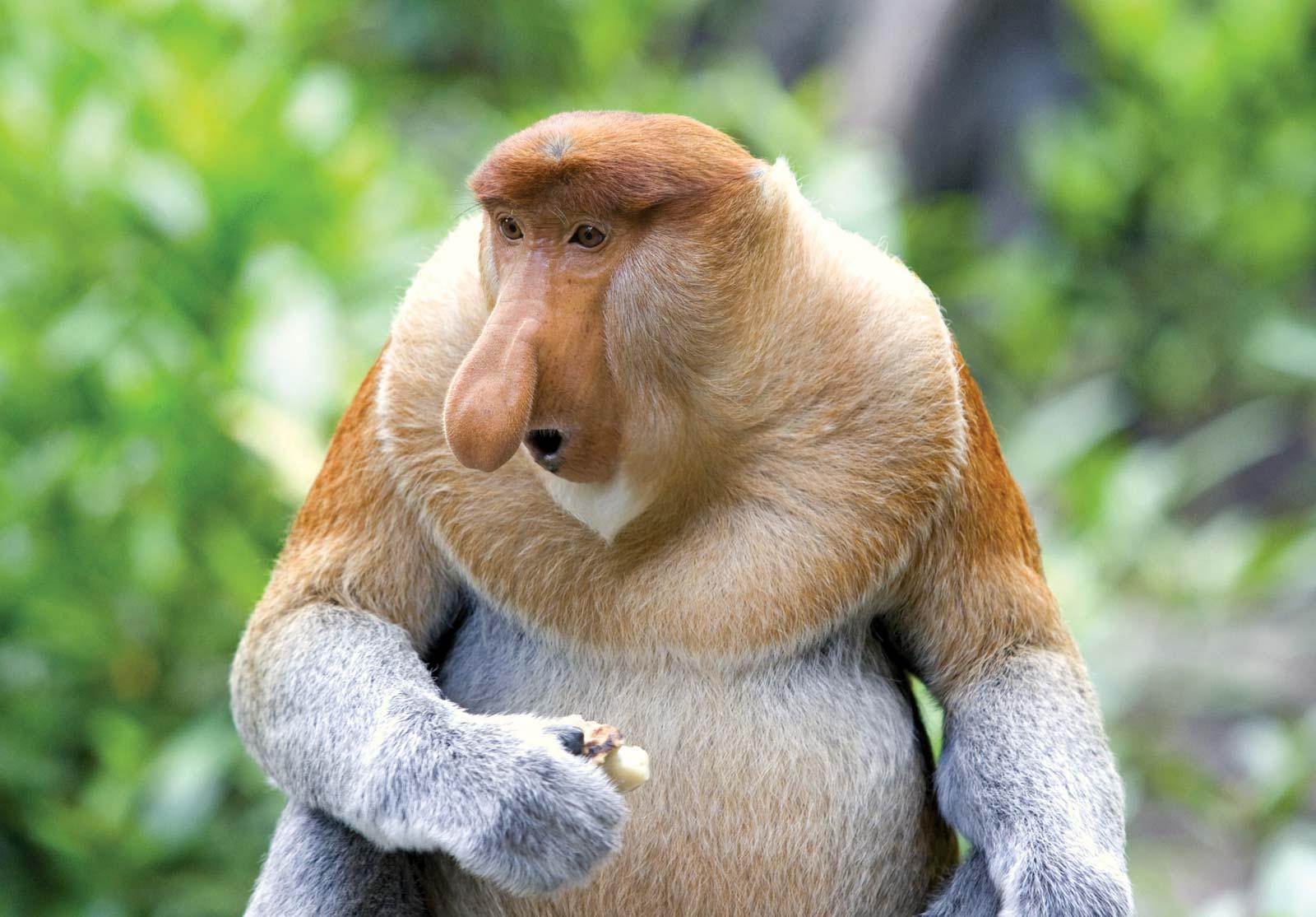 Proboscis-monkey.jpg